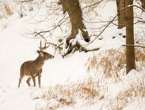 白色被盯梢的鹿 图库摄影