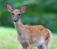 年轻白色被盯梢的鹿 免版税库存图片