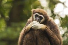 白色被递的长臂猿目光接触 免版税库存图片