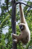 白色被递的长臂猿 免版税库存图片
