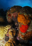 白色被结合的珊瑚虾 免版税库存图片