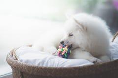 白色西伯利亚爱斯基摩人小狗说谎 免版税图库摄影