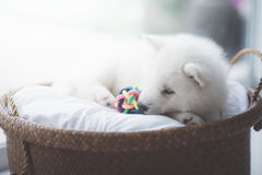 白色西伯利亚爱斯基摩人小狗说谎 库存照片