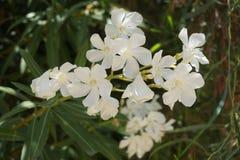 白色西班牙花 库存图片
