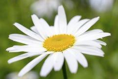白色象雏菊样的春黄菊花 免版税库存图片