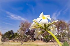 白色赤素馨花和蓝天 免版税库存图片