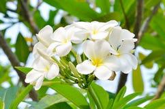 白色赤素馨花热带花,开花在tr的羽毛花 免版税库存图片
