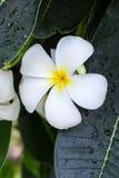 白色赤素馨花特写镜头 库存图片