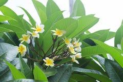 白色赤素馨花羽毛热带花用水滴下 库存照片