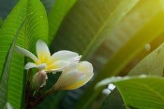 白色赤素馨花羽毛热带花用水滴下 免版税图库摄影