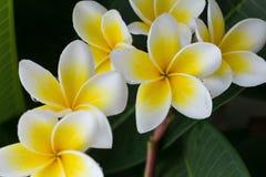 白色赤素馨花羽毛热带花用水滴下 库存图片