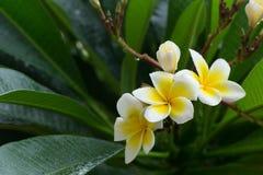 白色赤素馨花羽毛热带花用水滴下 免版税库存图片