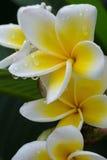 白色赤素馨花羽毛热带花用水滴下 免版税库存照片