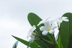白色赤素馨花羽毛热带花 库存照片