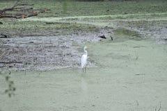 白色起重机站立反对绿藻类 免版税库存图片