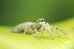 白色跳跃的蜘蛛 免版税库存图片