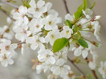 白色进展的酸樱桃分支 免版税图库摄影