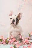 白色逗人喜爱的开会和面对在浪漫花背景的棕色法国牛头犬小狗照相机 库存图片