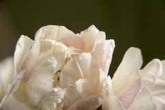 白色郁金香与 图库摄影