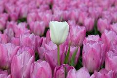 白色郁金香和桃红色郁金香 免版税库存照片
