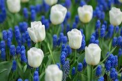 白色郁金香和蓝色葡萄风信花穆斯卡里armeniacum在a 免版税库存照片