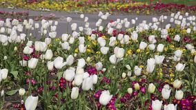 白色郁金香在吹在微风的公园 影视素材