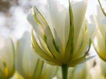 白色郁金香在库肯霍夫植物园,荷兰里 免版税库存照片