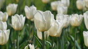 白色郁金香在庭院里 股票视频