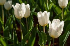 白色郁金香在早晨` s公园里开花 瓣结露 库存照片
