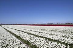 白色郁金香在春天 库存照片