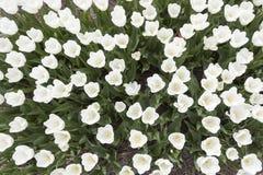 白色郁金香在从上面被看见的庭院里 库存照片