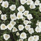 白色郁金香在从上面被看见的庭院里 免版税库存图片