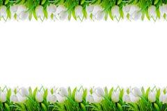 白色郁金香开花顶面和底下边界框架 库存图片