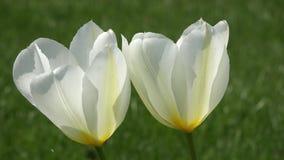 白色郁金香特写镜头 在庭院里拍的照片 影视素材