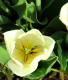 白色郁金香的里面的特写镜头 库存照片