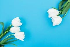 白色郁金香花卉框架在蓝色淡色背景的 平的位置,顶视图 背景蒲公英充分的草甸春天黄色 免版税库存照片