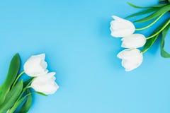 白色郁金香花卉框架背景在蓝色背景的 平的位置,顶视图 妇女天背景 库存图片
