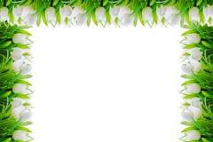 白色郁金香花场面和边界框架 免版税图库摄影