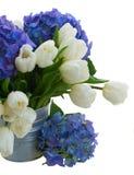 白色郁金香诗句和蓝色霍滕西亚花关闭  免版税库存照片