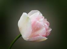 白色郁金香 图库摄影
