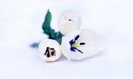 白色郁金香 库存图片