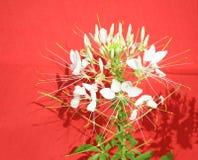 白色醉蝶花属 图库摄影