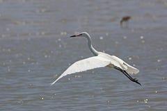 白色采取飞行的变体带红色白鹭 库存照片