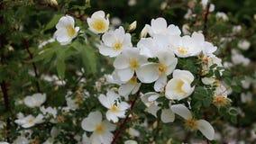 白色野玫瑰果在庭院里 股票视频