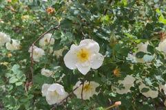白色野玫瑰果罗莎莉-在分支的一朵大花 免版税库存照片