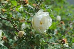 白色野玫瑰果罗莎莉-在分支的一朵大花 库存图片