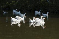 白色野生鹅群,游泳 库存图片