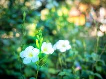 白色野花在自然世界04开花 库存照片