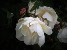 白色野蔷薇花 库存图片