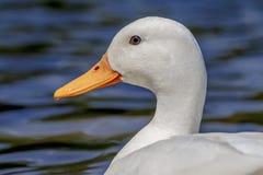 白色野鸭鸭子(女性) 免版税图库摄影
